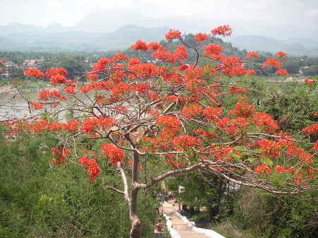 Luang_prabang_wat_chom_phet_red_tree